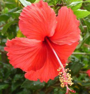 hibiscus and rosehip conditioner - curlytea.com