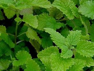 lemon balm spray - curlytea.com